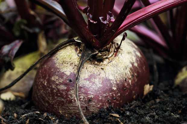 Close-up of beetroot growing in the ground