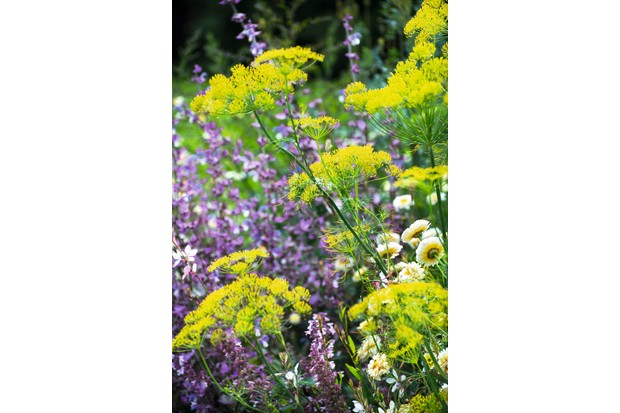 Anethum graveolens is an upright annual with lime green foliage and yellow, umbel flowers