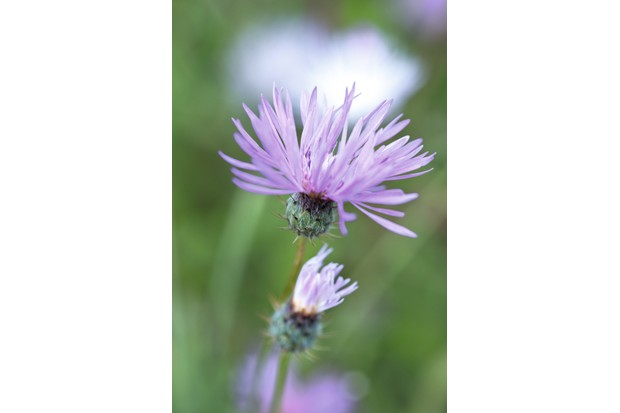 A tall-stemmed plant with purple-violet flowers, rather like a delicate thistle-head.
