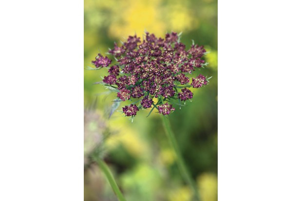 Daucus carota has a feathery solid stem with small clustered purple flowers