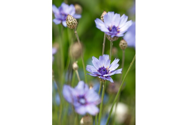 Catananche caerulea (Cupid's dart) has a thin stem with a delicate lilac flower head