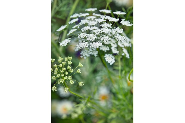 Ammi visnaga (Bisnaga, Bishop's weed, toothpickweed) has a delicate dome shaped flower head in white