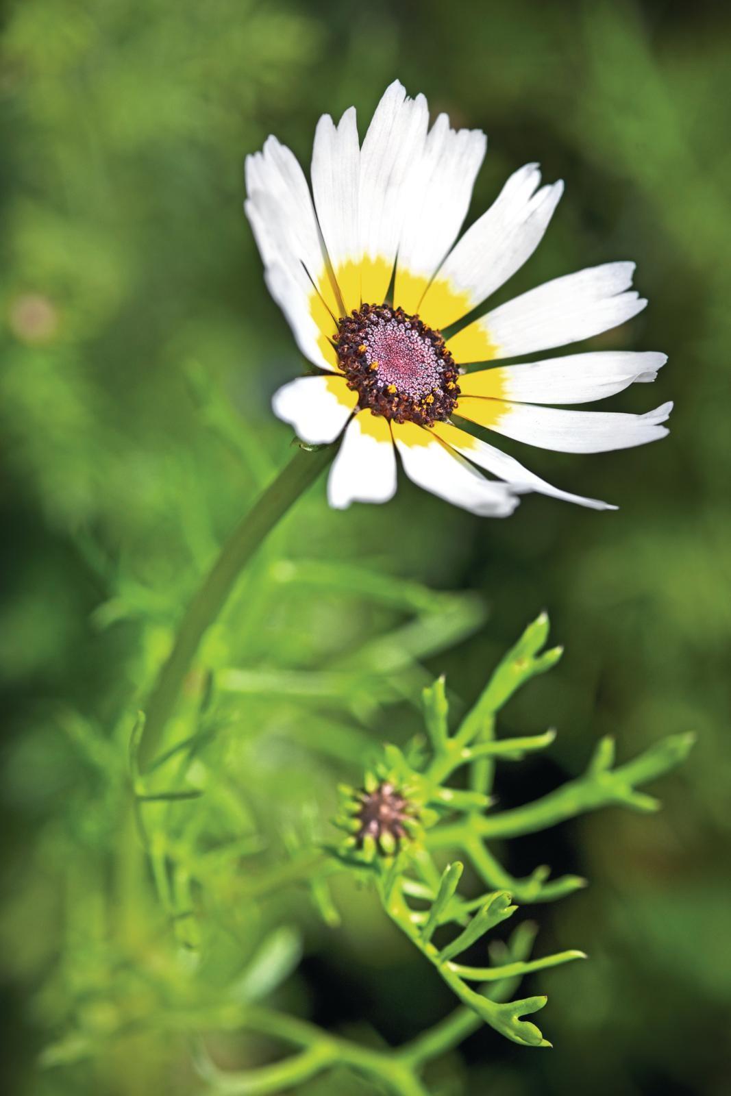 Chrysanthemum carinatum'Polar Star'