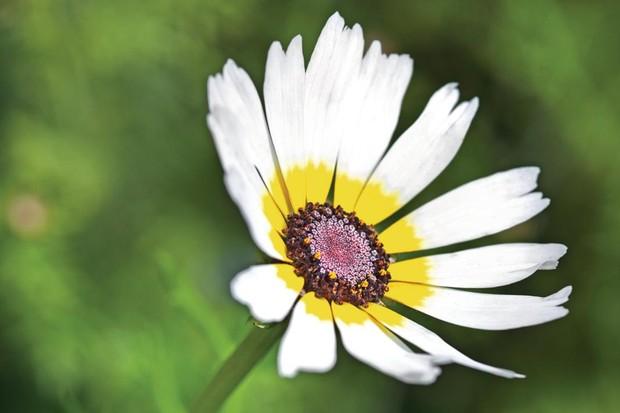 Chrysanthemum carinatum 'Polar Star' has white petals with a yellow inner halo surrounding a dark-brown centre