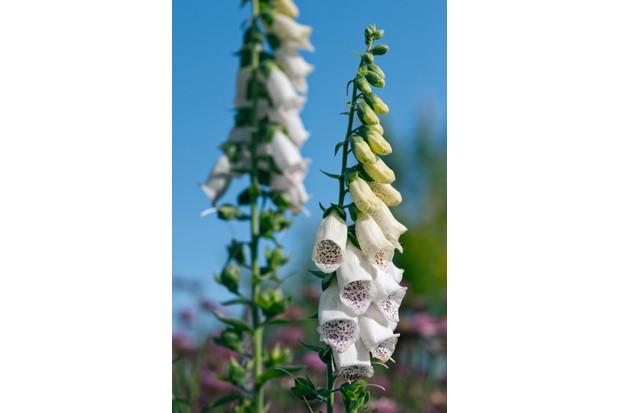 Digitalis purpurea (foxglove - white) is tall with soft hairy leaves and tubular creamy white flowers