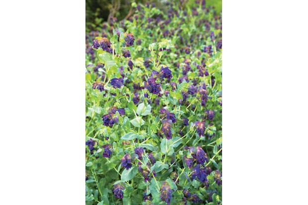 Cerinthe major 'Purpurascens' has gaucous blue-green foliage and droplets of dark-purple flowers