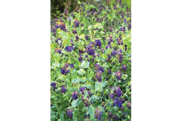 Cerinthe major 'Purpurascens' has gaucous blue-green foliage and droplets of dark-purple flowers