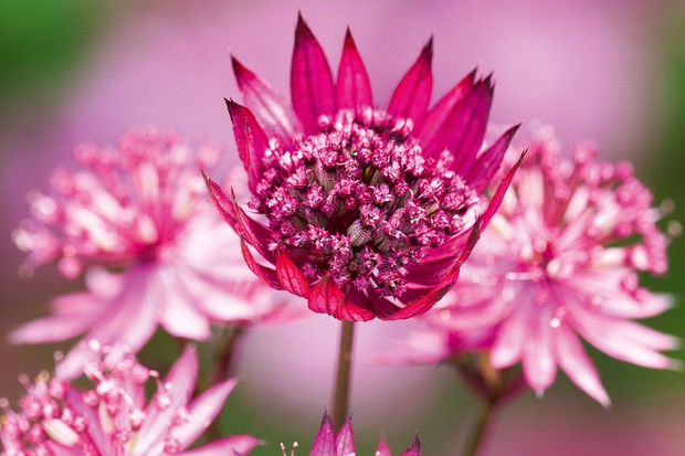 Astrantia in first section of border