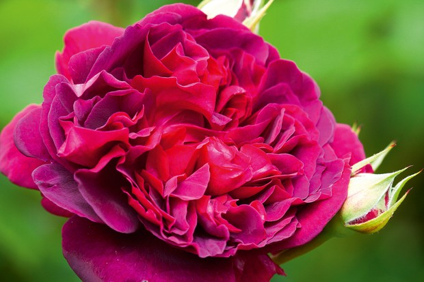 Rosa William Shakespeare 2000 syn. R 'Ausromeo'