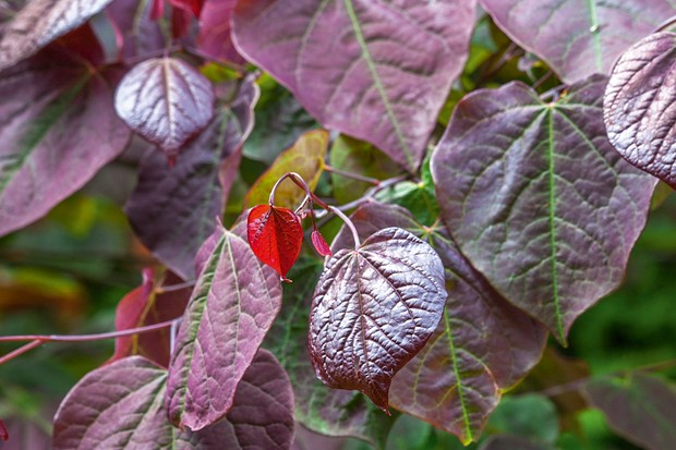 The foliage of Cercis canadensis 'Forest Pansy'