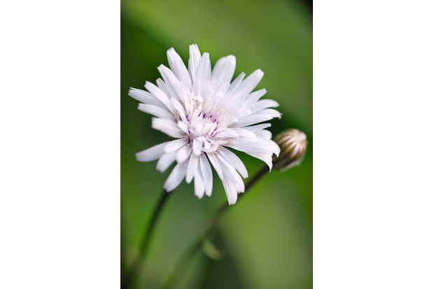 Crepis rubra 'Snow White' is a pinkish-white daisy like flower