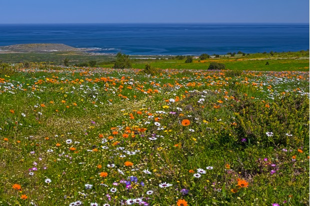 Multicolored spring wildflowers in Postberg region of West Coast National Park, South Africa