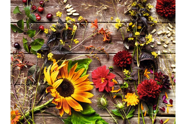 Growing for cut flower bouquets gardens illustrated helenium sahins early flowerer bronze yellow and orange flowers which bloom for months especially if you give these perennial plants the chelsea chop mightylinksfo