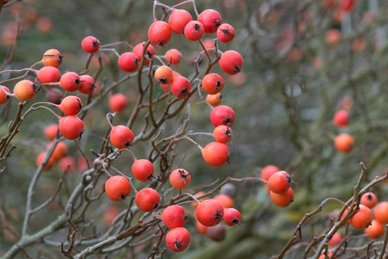 Crataegus x lavalleei 'Carrierei' berries