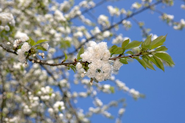 Close up of double petalled cherry blossoms with sky background.