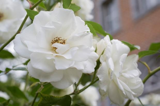 Rosa Schneewittchen, or Rosa Iceberg, white floribunda rose