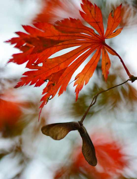 Autumn leaves of the Downy Japanese Maple -Acer japonicum Aconitifolium-, Emsland, Lower Saxony, Germany
