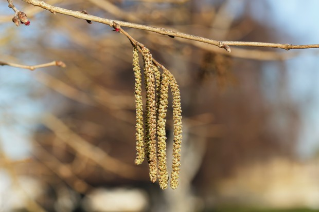 Hanging yellow catkins of a Turkish hazel tree (Corylus colurna). Selective focus with plenty of copy space. This lonely tree bears hazelnuts every year but, sadly, they are empty.