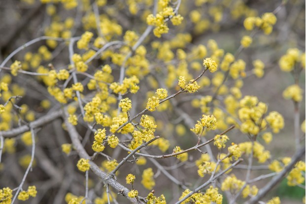 yellow flowers of the dogwood Cornus mas