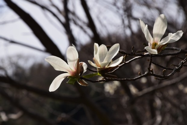 """Elegant white flowers """"Magnolia kobus"""""""