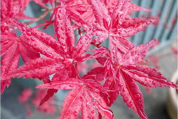 Close-up of Acer Palmatum 'Osakazuki' Japanese Maple