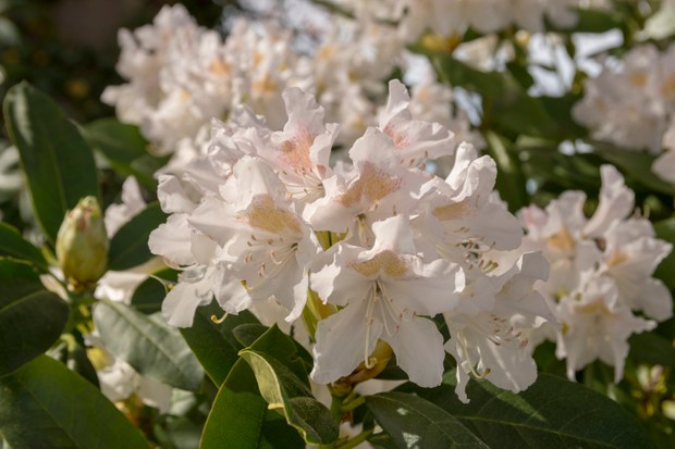 Close-upp of a blooming white Rhododendron (Cunningham's White) with some leaf in front.