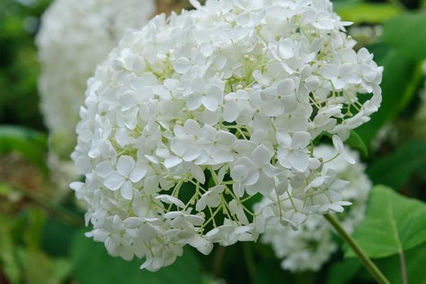 Hydrangea 'Annabelle' in flower
