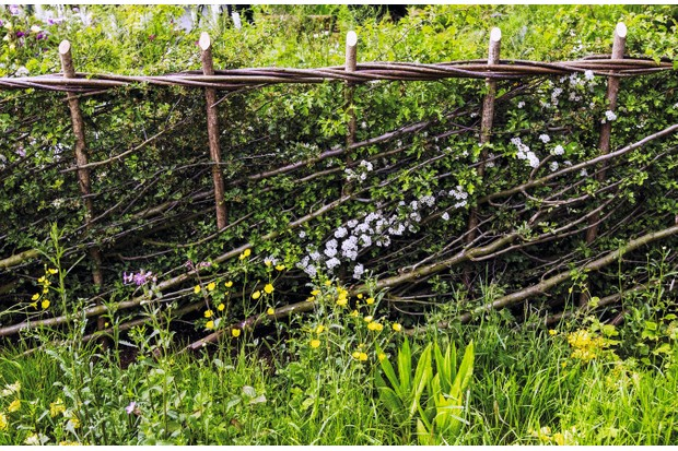 Laid hedge with wooden barrier support and flowering meadow grass