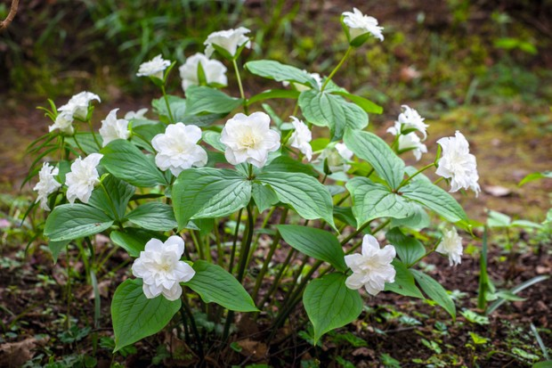 Trillium grandiflorum f. polymerum 'Flore Pleno has double white flowers set above all-green foliage