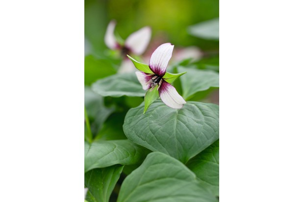 Trillium rugelii has broad, green foliage and a curving stalk that tucks the distinctive flower under the foliage