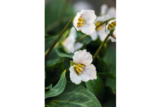 Trillium rivale has red-speckled white flowers loves stream edges and a yellow centre