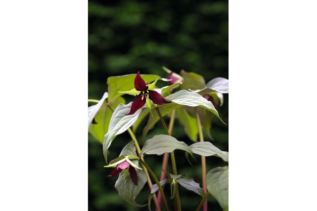 Trillium Erectum has an erect stem with three broadly ovate green leaves and a solitary, terminal deep maroon flower head