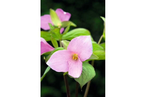 Trillium grandiflorum f. roseum has cool-pink flowers, rather like most montana clematis in colour, held above all-green foliage, which has a red picotee edge due to presence of anthocyanin.