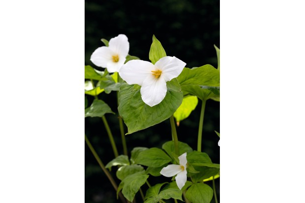 Trillium grandiflorum has full-petalled, large, white flowers that can vary in size and are held on stems above dark-green foliage