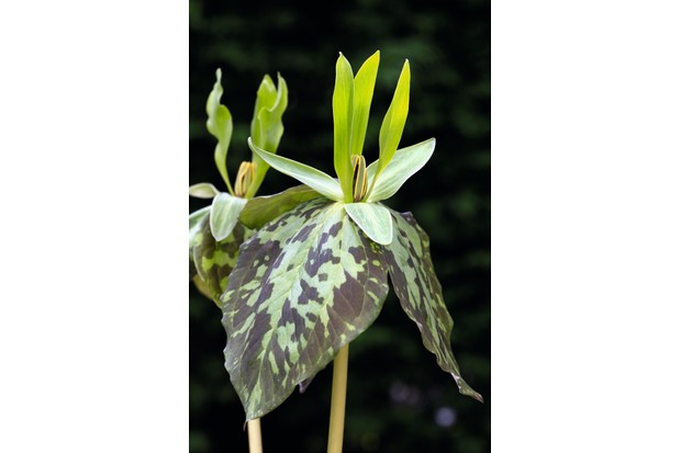 Trillium ludovicianum has strongly marked leaves and erect flowers, which can vary from green through to purple.