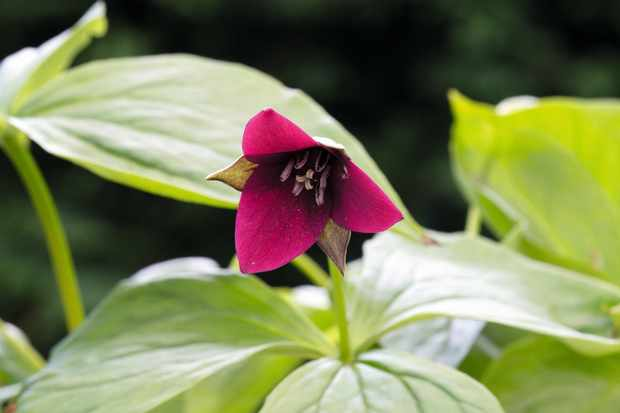 Trillium Sulcatum has broad-petalled, wine-red flowers, with quilled, dark and narrow sepals behind, which are held on stalks above large, rounded leaves
