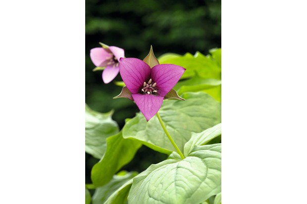 Trillium flexipes 'Harvington Dusky Pink' has dusky pink flowers which are framed by narrow, red-edged sepals, and the strong stems also have a pink-flush.