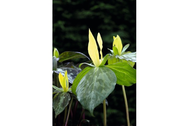 Trillium luteum has broadly ovate leaves mottled with silvery green, and solitary terminal yellowish green flowers with narrow, upright petals