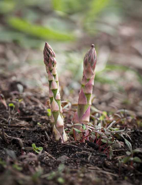 Two green asparagus spears growing up through open ground