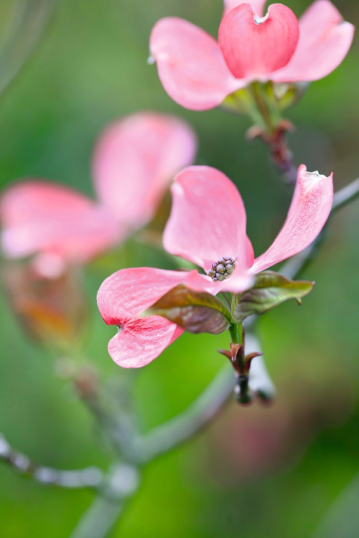 Dogwood Trees To Grow Which Are The Best Cornus For Flowering