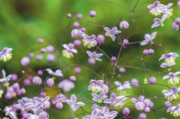 Plant portrait of Thalictrum delavayi 'Ankum'