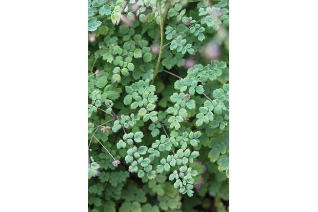 T. minus 'Adiantifolium'