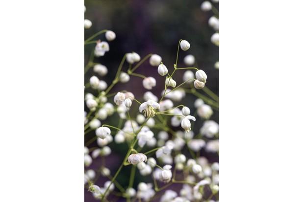 T. Splendide White (= 'Fr21034')