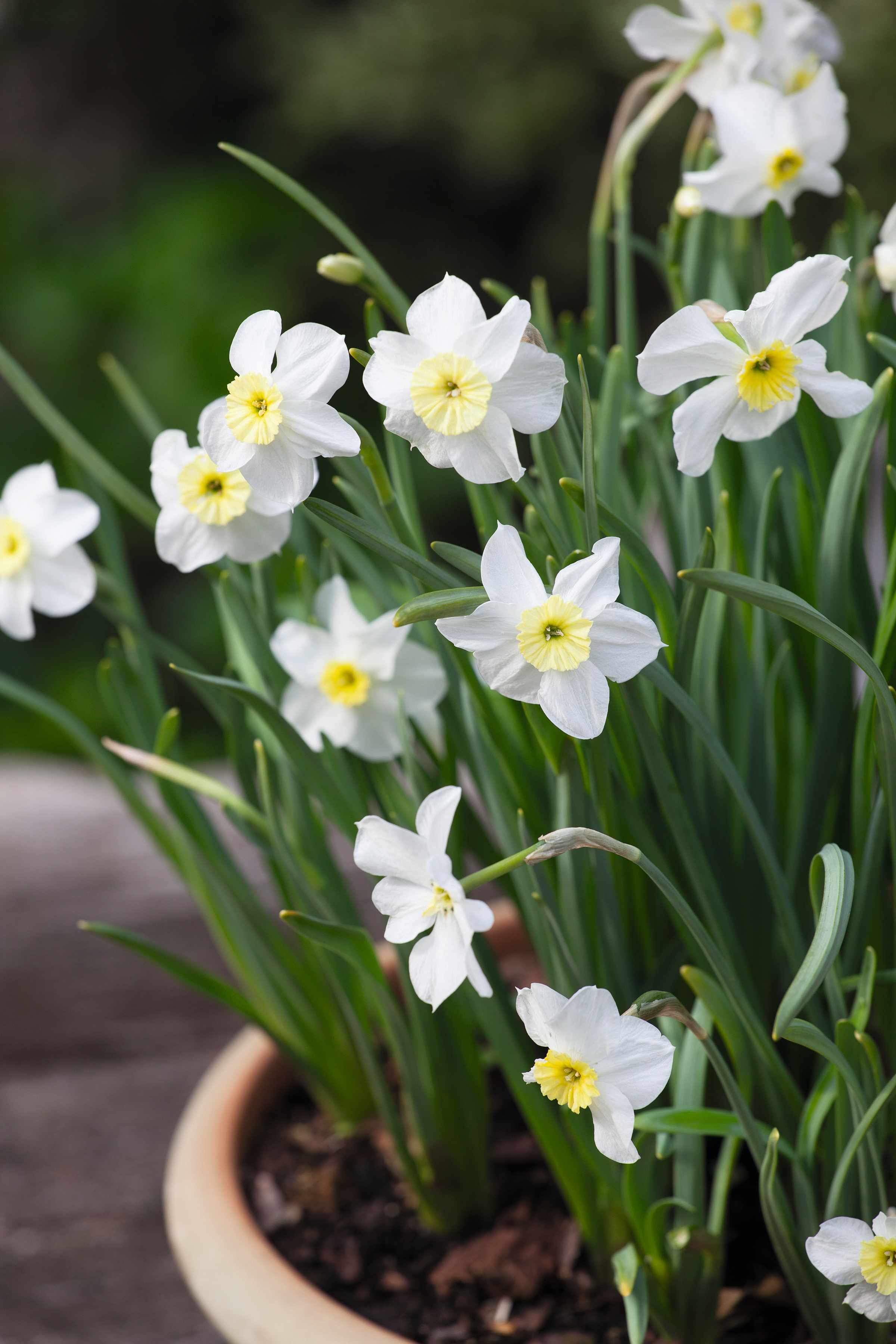 Narcissus 'Segovia' growing in a pot at Mary Keen's garden, The Old Rectory