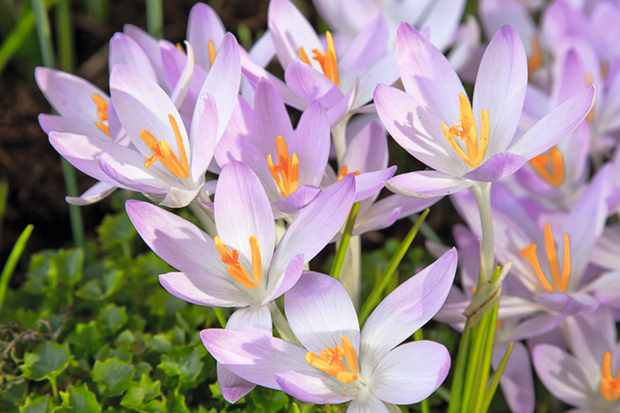 Early crocus, Crocus tommasinianus, group of open flowers with lilac petals, deep yellow stamens and white stems. (Photo by FlowerPhotos/UIG via Getty Images)