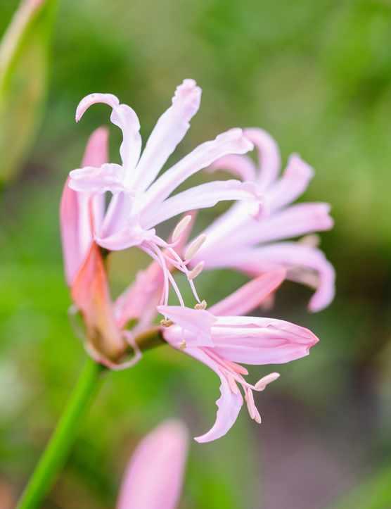 N. bowdenii 'Vesta K'