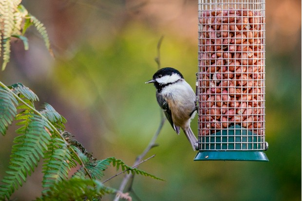 A coal tit (Periparus ater) feeding on peanuts either side of a hanging bird feeder, in Cumbria UK.