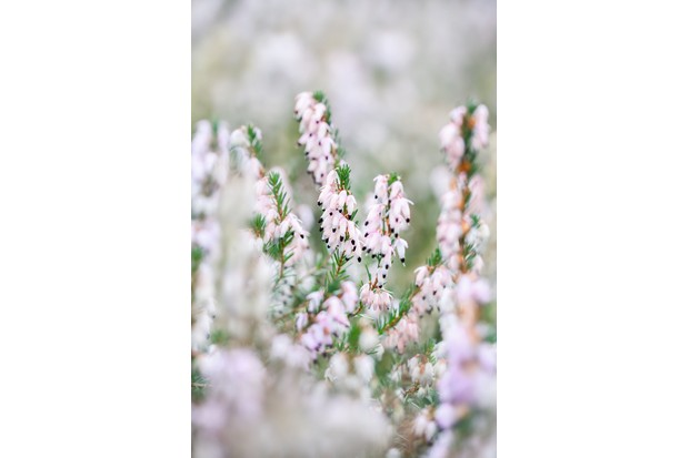 Winter flowering heather