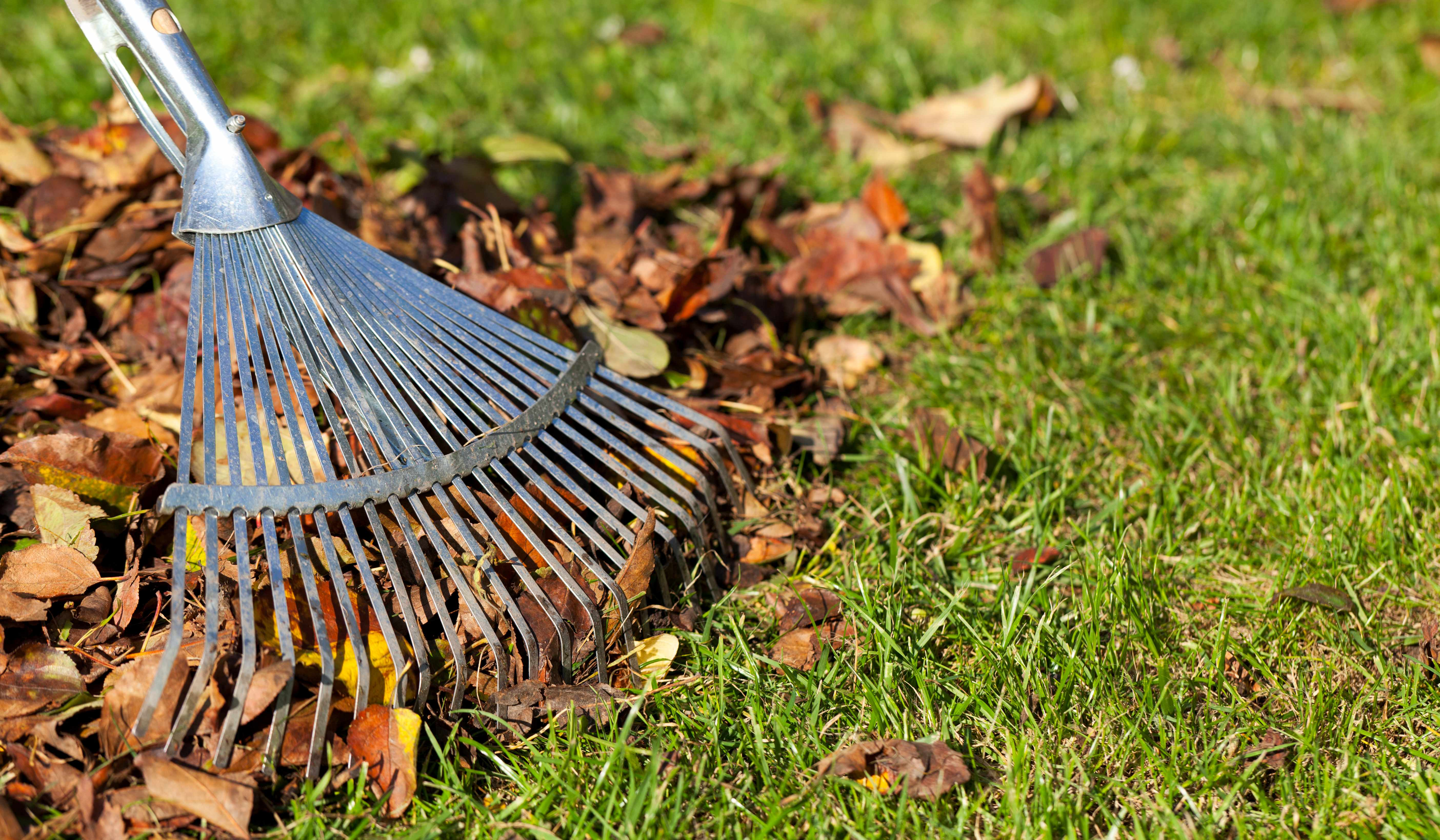 Collecting leaves with rake
