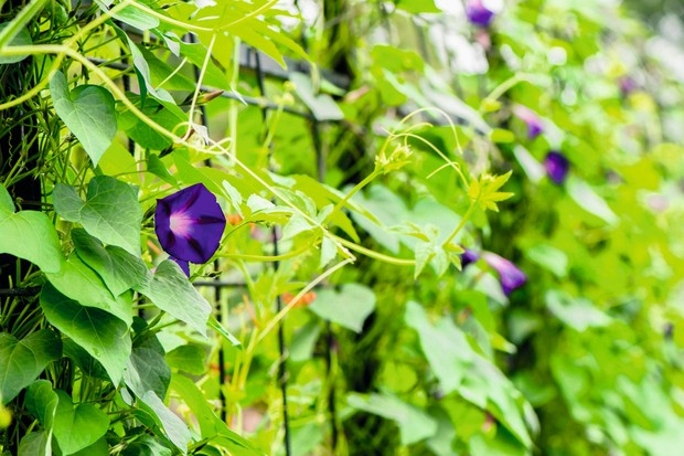 21 annual climbers - Gardens Illustrated